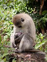 Vervet monkey in Lake Nakuru National Park, Kenya