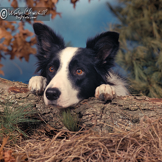 Border Collie peeking over a log