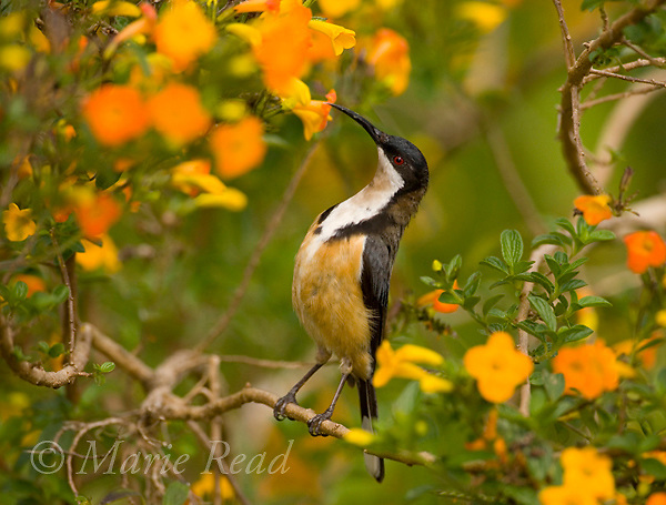 Eastern Spinebill (Acanthorhynchus tenuirostris), attracted to feed on nectar from orange flowers Atherton Tableland, Queensland, Australia.