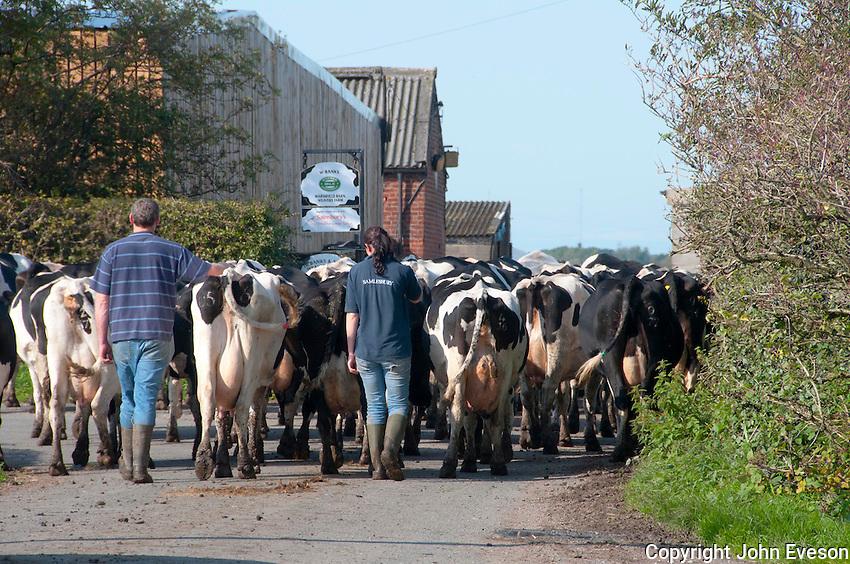Bringing cows in for milking, Hutton, Preston, Lancashire.