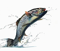 Salmon leaping out of water