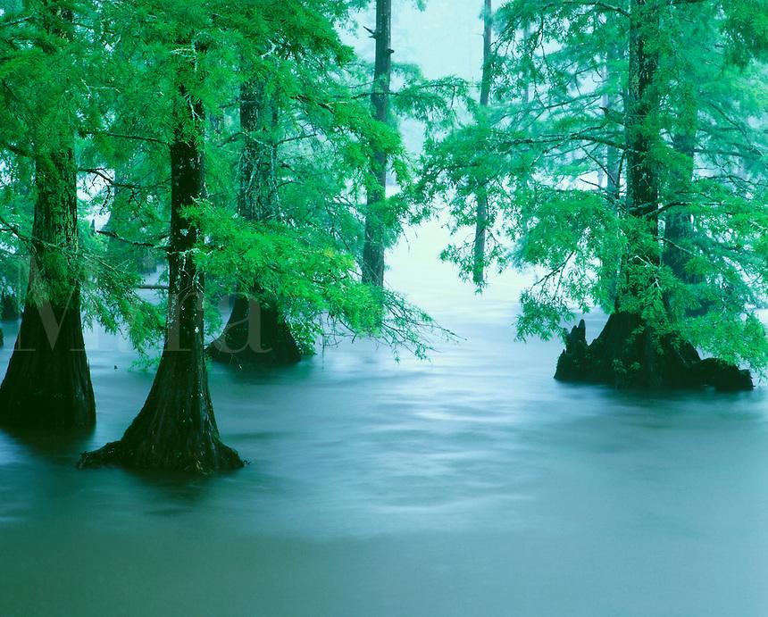 Bald cypress trees in Bluff Lake Noxubee National Wildlife Refuge Mississippi