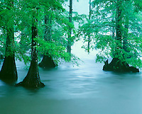 Bald cypress trees in Bluff Lake Noxubee National Wildlife Refuge Mississippi