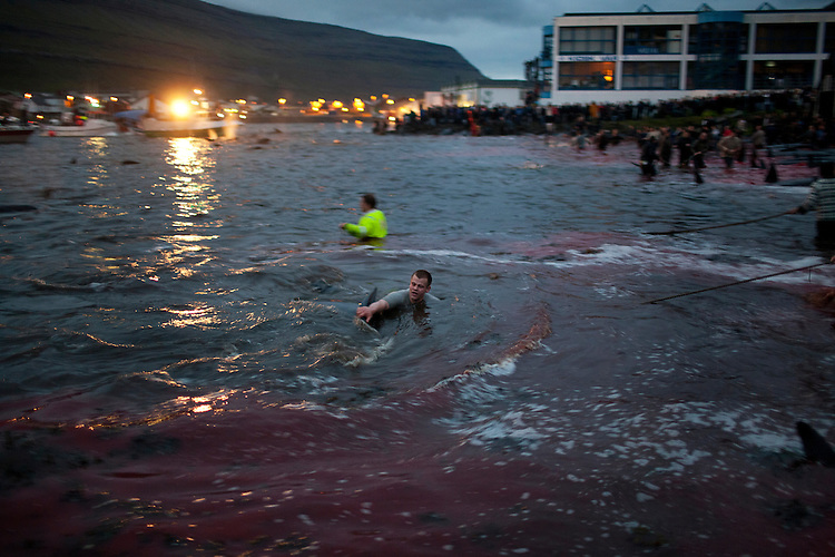 A young man wrestles with a pilot whale and tries to drive a hook into its back.  Once the hook is in, people on the shore will use the rope tied to haul the whale into the shallows.