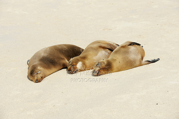 Galapagos Sea Lion (Zalophus wollebaeki), adults at beach, Espanola Island, Galapagos, Ecuador, South America