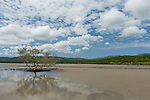 Cooya Beach, Port Douglas, Australia; a lone mangrove tree growing in the mud flats is reflected in the shallow water at low tide