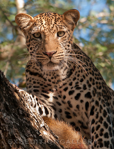Leopard in tree with prey.