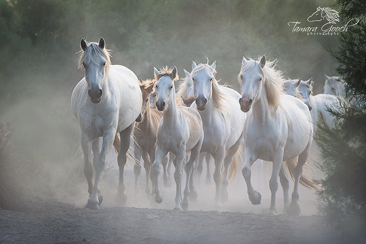 A photo of mares and foals from the camargue in Provence France running kicking up dust.