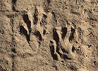 I always try to photograph footprints left behind by different animals during my trips.