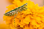 Indian Flower Mantis, Creobroter meleagris, Bandhavgarh National Park, mantid on yellow flower.India....