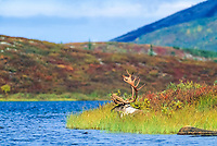 Bull caribou rests in the grass along the edge of Wonder Lake, Denali National Park, Alaska