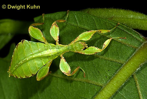 OR14-522z  Leaf Insect female, Phyllium spp., Phillipines