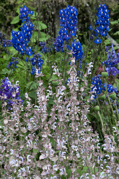 Salvia sclarea 'Turkestanica' and delphinium, mid July.