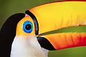 Bright colors of a toco toucan in Pantanal Matogrossense National Park, Brazil.