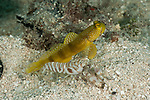 Banded shrimp goby (Cryptocentrus cinctus) yellow morph  with snapping shrimp partner (Alpheus sp.)
