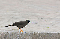 Great thrush, Turdus fuscater, near Nono, Ecuador