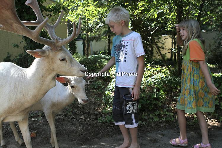 Foto: VidiPhoto..AMERICA - De witte damherten op bungalowpark Het Meerdal in het Limburgse America zijn aardig ingeburgerd. Het Meerdal is nu zo'n 2,5 jaar de opvangplek voor de zeldzame witte herten en publiek en dieren zijn inmiddels aan elkaar gewend. Toch is het voor veel bezoekers nog steeds even wennen om de albino's rond de huisjes te zien lopen.