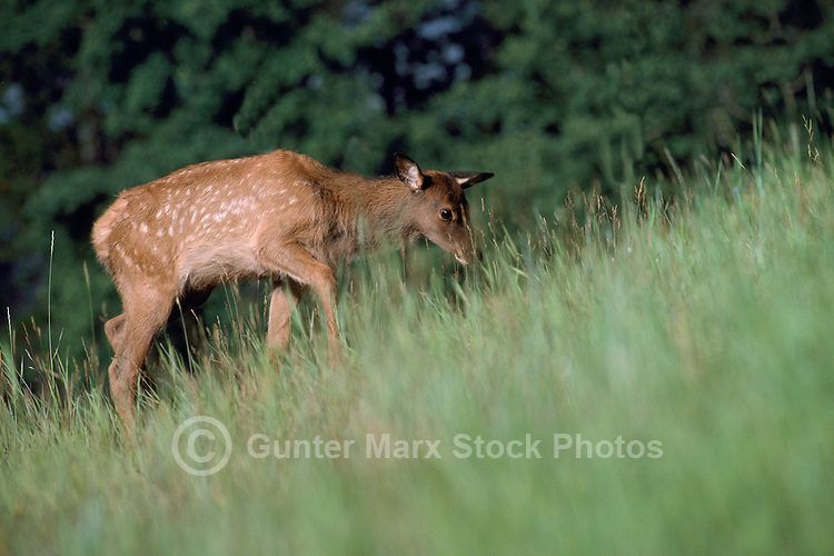 Banff National Park, Canadian Rockies, AB, Alberta, Canada - Elk Calf, Wapiti (Cervus canadensis) grazing in Forest Meadow