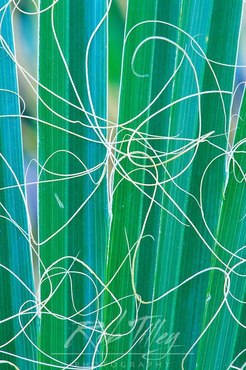 USA, CA, Palm Springs, California Fan Palm Detail (Washingtonia filifera)
