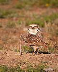 """Lunch with the Burrowing Owls"", Oklahoma"