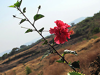 Pretty red Hibiscus branch overlooking rural, village landscape