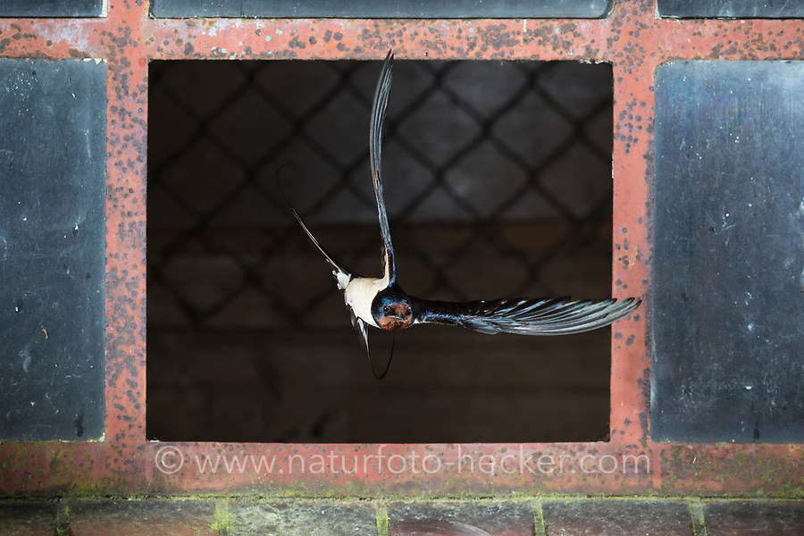Rauchschwalbe, Rauch-Schwalbe, Schwalbe, Schwalben, fliegend, Flug, Flugbild, Stallfenster, Fenster, fliegt durch Fenster, Hirundo rustica, Swallow, barn swallow, flying, flight, Hirondelle rustique