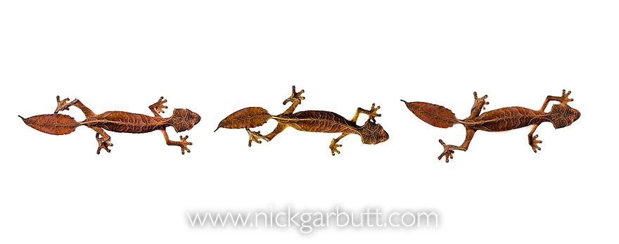 Satanic Leaf-tailed Geckos (Uroplatus phantasticus) on white background. From Ranomafana National Park, Madagascar.