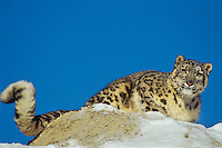 Snow Leopard (Panthera Uncia) or (Uncia uncia), Endangered Species.