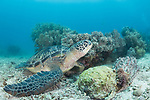 Apo Island, Dauin, Negros Oriental, Philippines; a green sea turtle resting on the sandy bottom next to a coral bommie