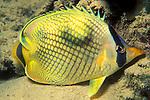 Chaetodon raffesi; latticed butterflyfish