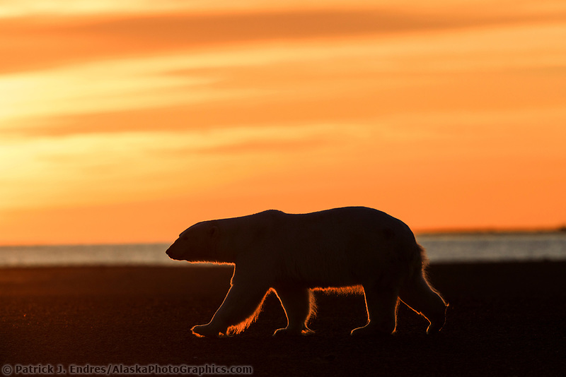 Sihlouetted polar bear is backlit by the rising sun on a barrier Island in the Beaufort Sea, Arctic, Alaska.
