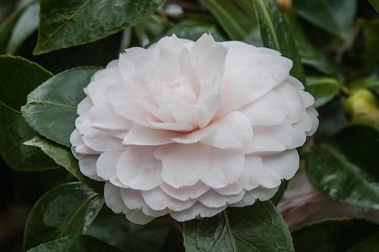Camellia japonica 'Twilight', mid April.