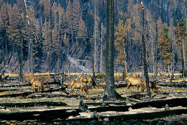 Rocky Mountain Elk herd graze on new grass and shoots in early spring in burned over area.  Western U.S.