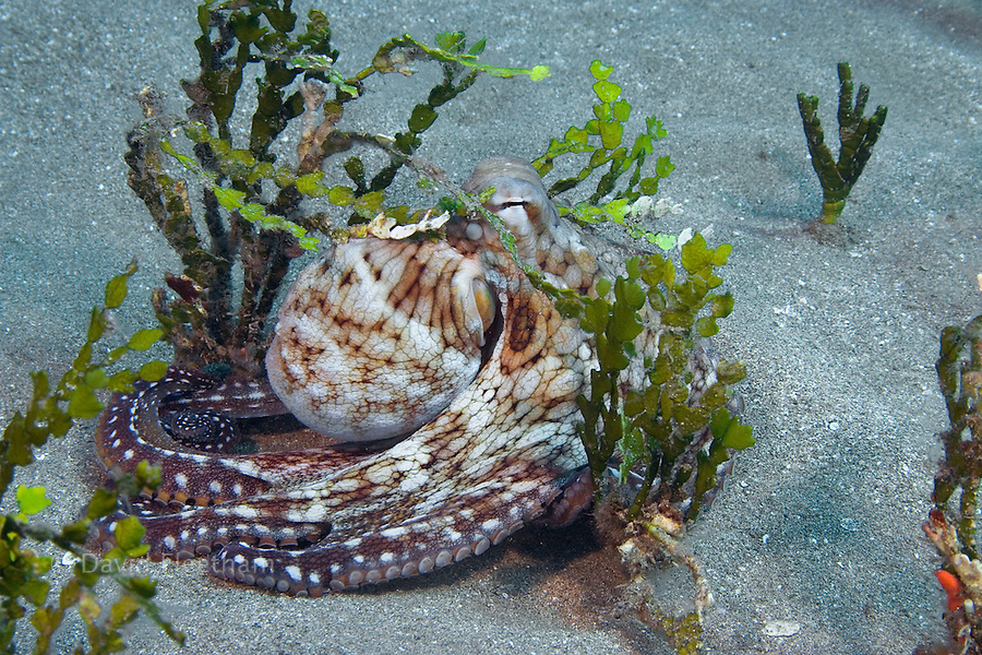 Day octopus, Octopus cyanea, hiding in calcareous  halimeda algae, Halimeda opuntia, Hawaii.