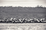 USA, Alaska, Homer, China Poot Bay, Kachemak Bay, sea lions seen laying on a beach near the Kachemak Bay Wilderness Lodge