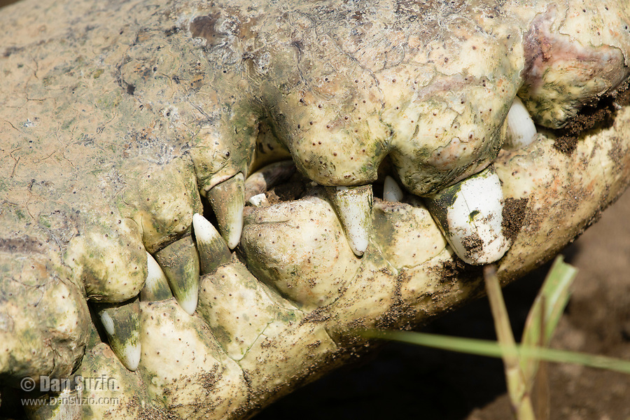 Close-up of the teeth of an American Crocodile, Crocodylus acutus, basking beside the Tarcoles River, Costa Rica. Listed as Vulnerable in the IUCN Red List of Threatened Species.