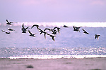 Crested Terns, in flight, Kapalai, Sabah, Borneo, on sand bank flying. .Borneo....