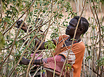 A woman harvests leaves in Gidel, a village in the Nuba Mountains of Sudan. The area is controlled by the Sudan People's Liberation Movement-North, and frequently attacked by the military of Sudan.