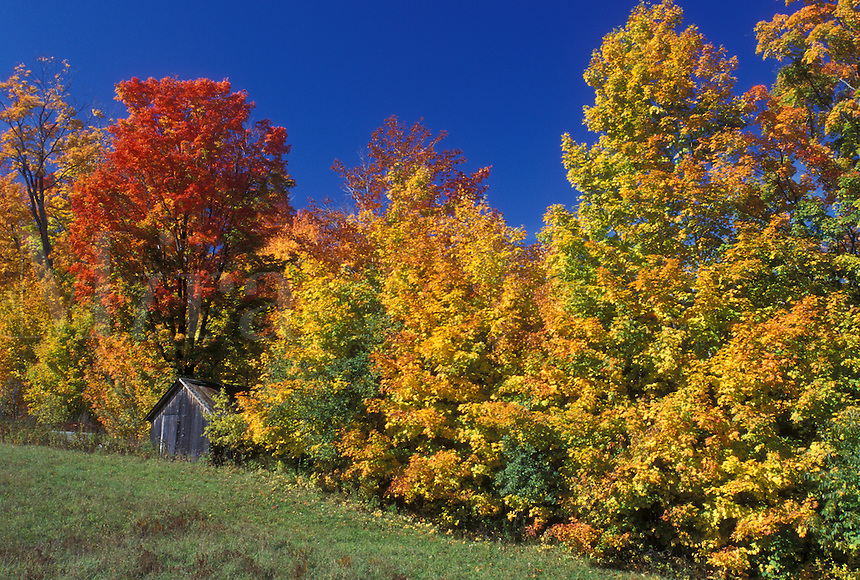 maple trees, fall, Barnet, VT, Vermont, Scenic view of a small wooden barn surrounded by colorful foliage in the autumn.