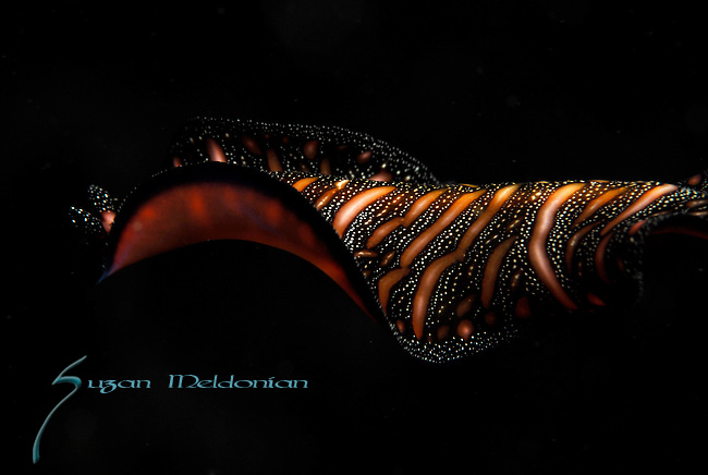 Persian Carpet Flatworm , Pseudobiceros bedfordi, Lembeh Straits, Sulawesi Sea, Indonesia, Amazing Underwater Photography