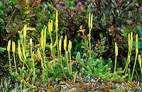 Keulen-Bärlapp, Keulenbärlapp, Wolfsklaue, Bärlapp, Lycopodium clavatum, wolf's-foot clubmoss, club moss, stag's-horn clubmoss, groundpine, running pine, ground-pine, running-pine