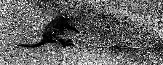 Dead cat with long entrail. roadkill<br />