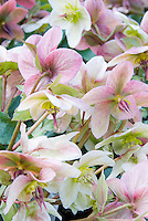 Hellebore x ericsmithii Angel Glow in ponk winter spring bloom