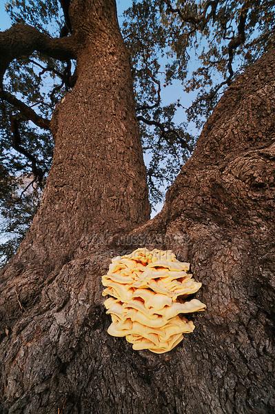 Sulphur shelf mushroom (Laetiporus sp.), growing on Live Oak tree (Quercus virginiana), Dinero, Lake Corpus Christi, South Texas, USA