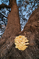 Sulphur shelf mushroom (Laetiporus sp.), growing on Live Oak tree (Quercus virginiana), Dinero, Lake Corpus Christi, South Texas, USA