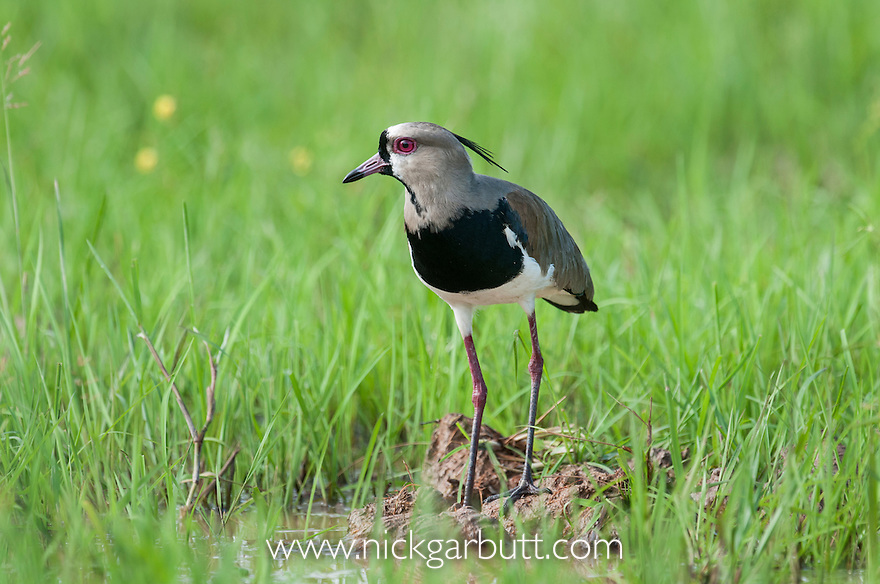 Male Southern Lapwing (Vanellus chilensis) displaying near its nest in marsh / swamp grasslands. Hato La Aurora Reserve, Los Llanos, Colombia.