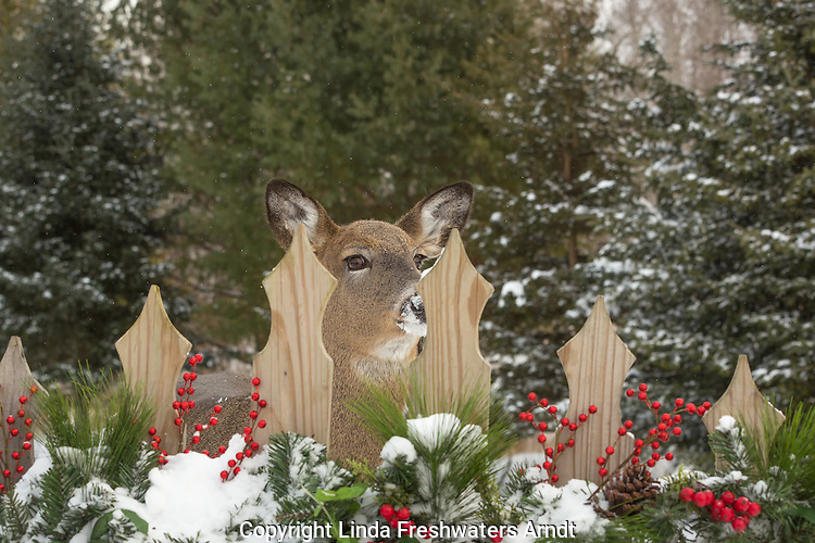 White-tailed deer peering through the slats of a festive fence.