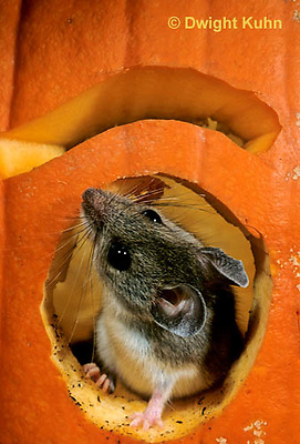 MU59-054z   White-Footed Mouse - on Jack-o-lantern -  Peromyscus leucopus