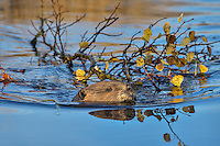 North American Beaver (Castor canadensis) pulling/towing aspen tree limb towards its lodge.  The beaver will store this limb underwater near its lodge where it will use it for winter food after the pond has frozen over.    Northern Rockies,  Fall.