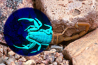 Bark Scorpion (Centruroides exilicauda) under both visible and UV light (Composite, Arizona)